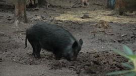 Wild Boar Photo