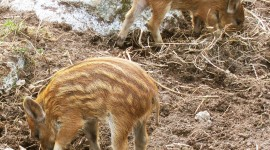 Wild Boar Photo Download