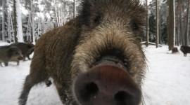 Wild Boar Photo Free