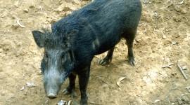 Wild Boar Photo#4