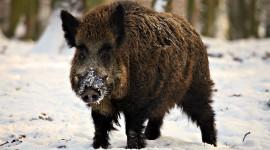 Wild Boar Wallpaper 1080p