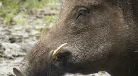 Wild Boar Wallpaper Download