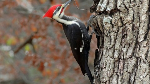 Woodpeckers wallpapers high quality