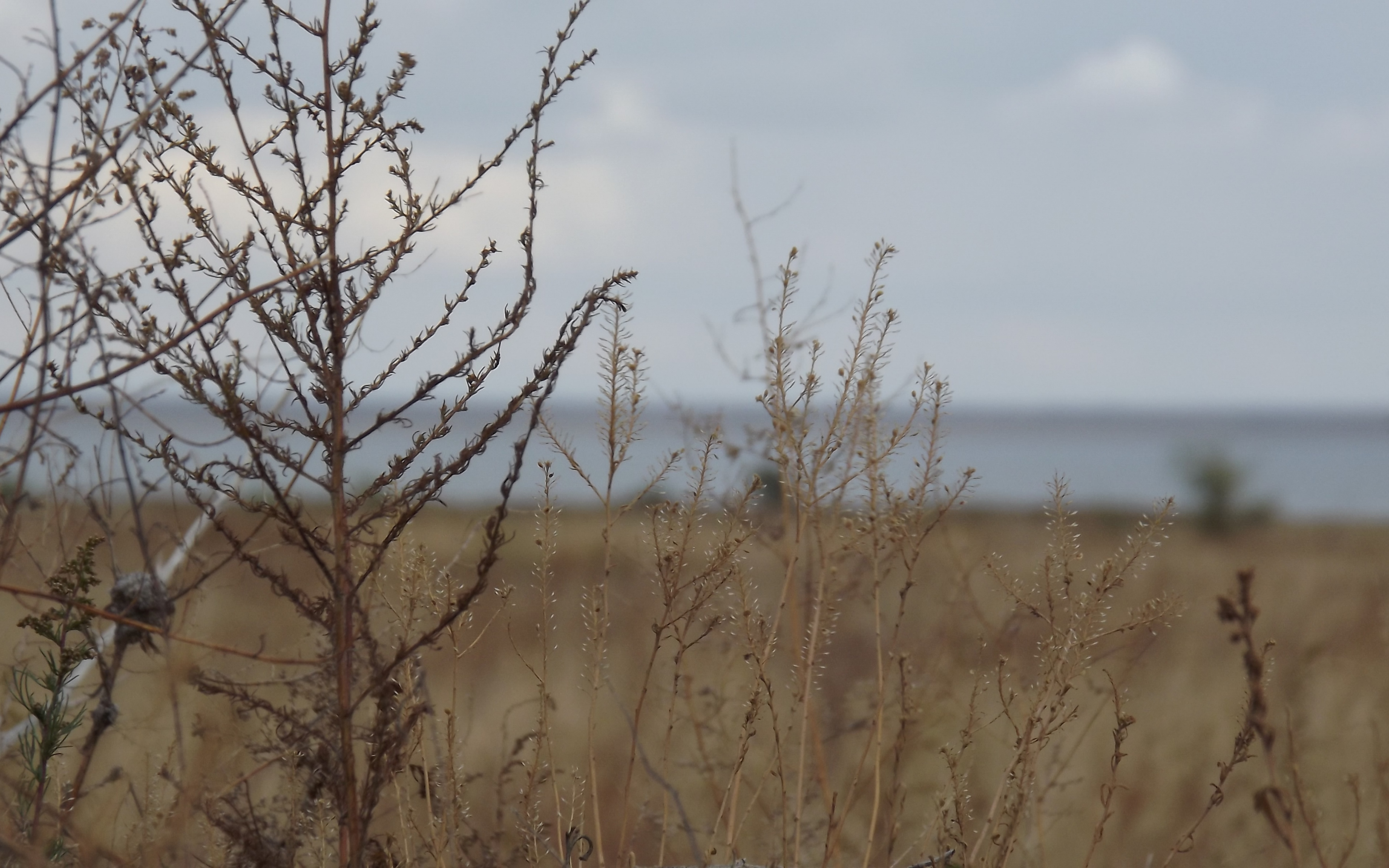 dry grass field background. Dry Grass Field Background ,