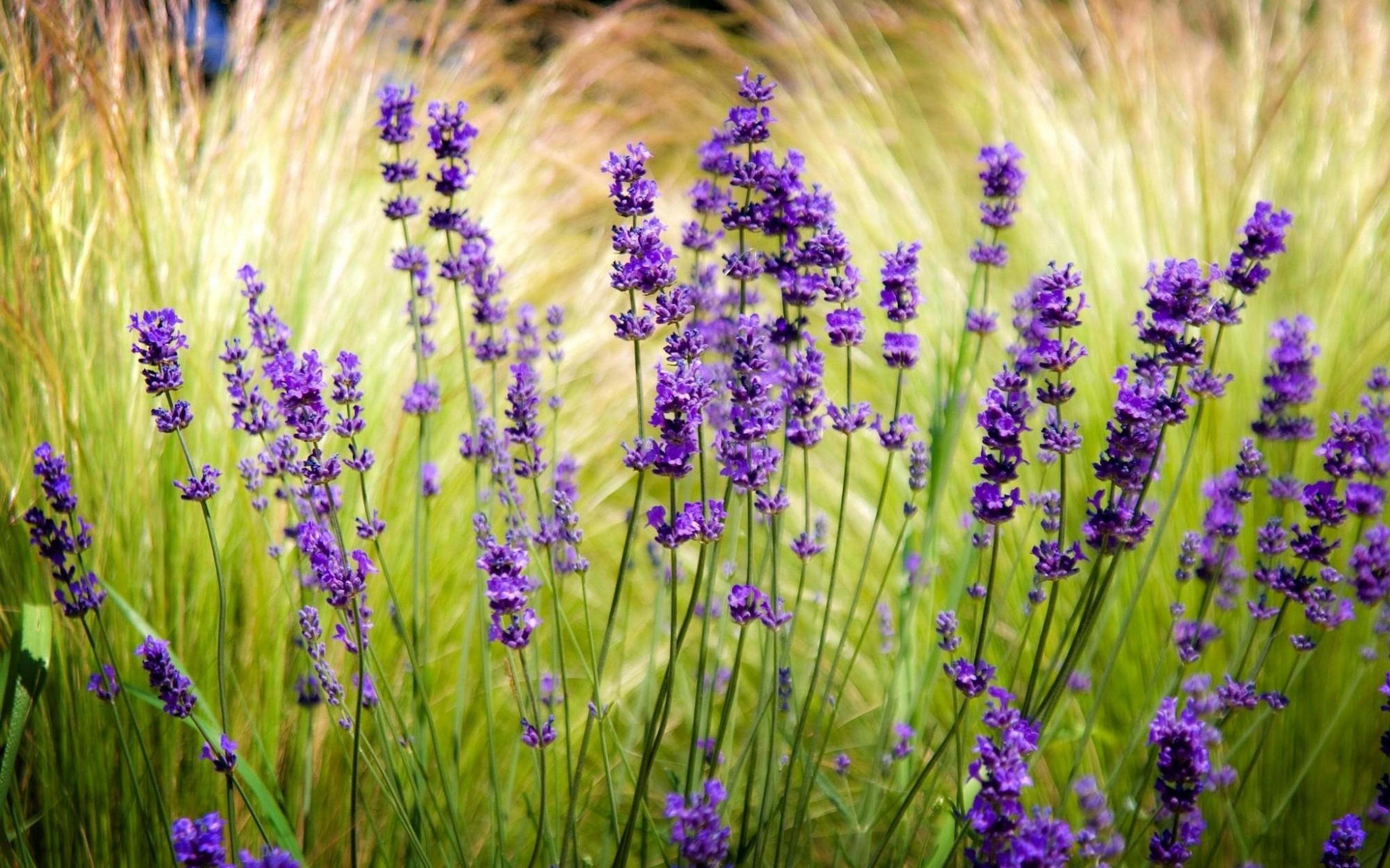 http://yesofcorsa.com/wp-content/uploads/2018/01/4K-Lavender-Desktop-Wallpaper-HD.jpg