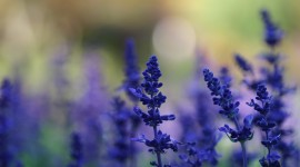 4K Lavender Photo Download