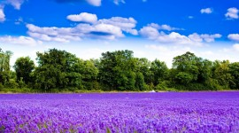4K Lavender Photo Free