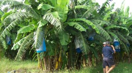 Banana Plantation Wallpaper Background