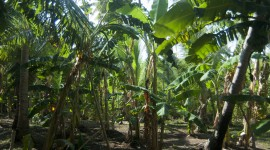 Banana Plantation Wallpaper Download