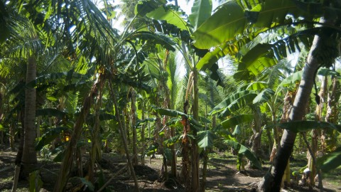 Banana Plantation wallpapers high quality