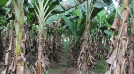Banana Plantation Wallpaper Download Free