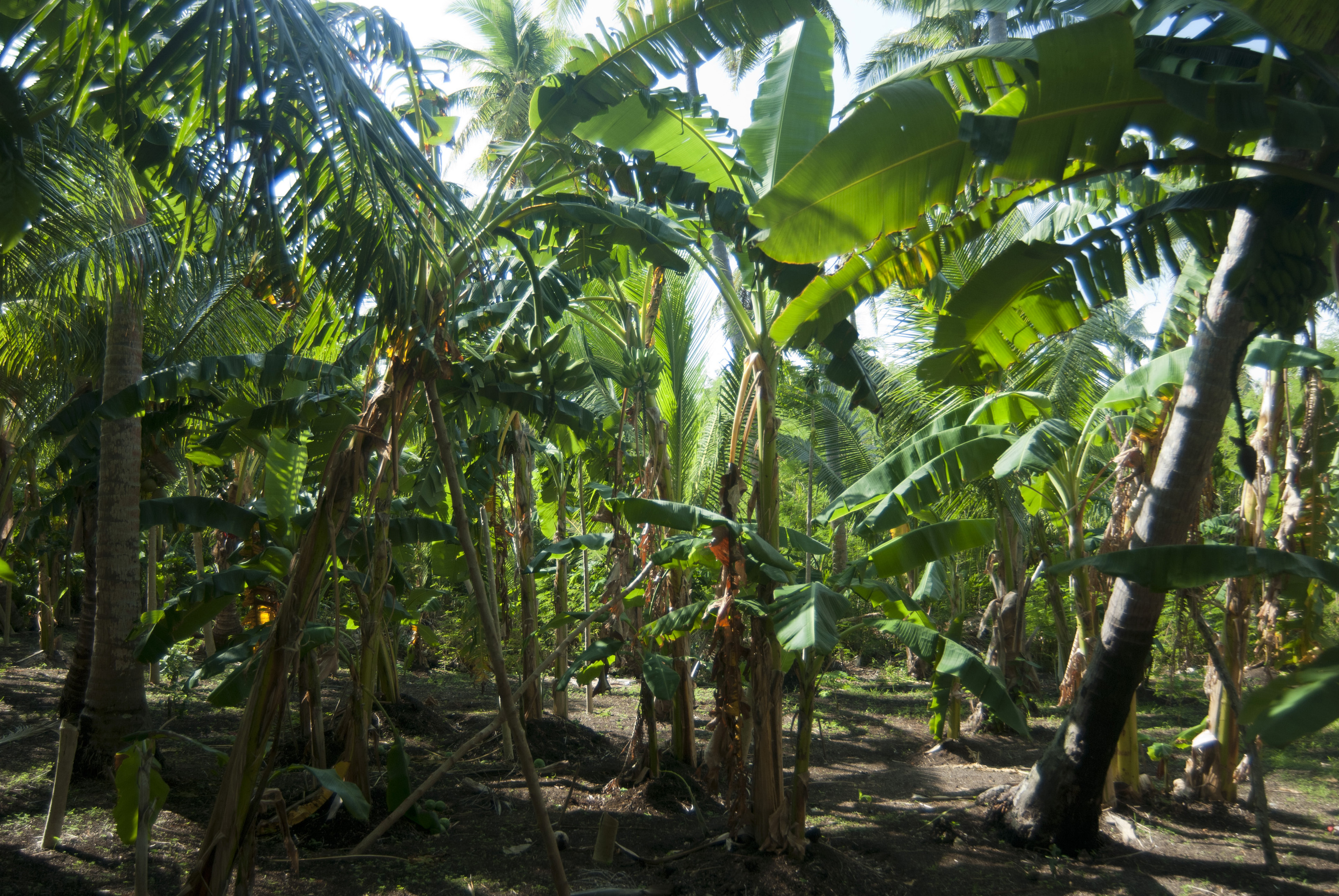 Banana Plantation Wallpapers High Quality | Download Free