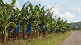 Banana Plantation Wallpaper Free