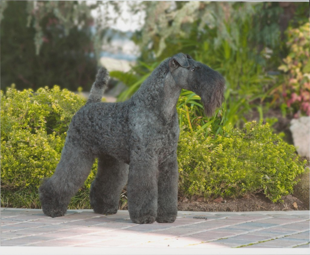 Dog Kerry Blue Terrier wallpapers HD