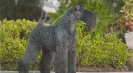 Dog Kerry Blue Terrier Best Wallpaper