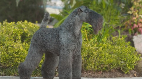 Dog Kerry Blue Terrier wallpapers high quality