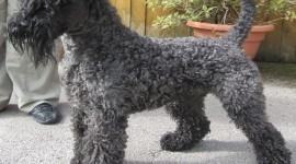 Dog Kerry Blue Terrier Desktop Wallpaper