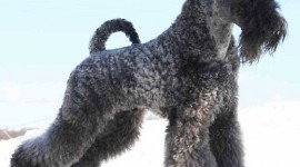Dog Kerry Blue Terrier Photo Download