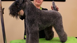 Dog Kerry Blue Terrier Photo Free