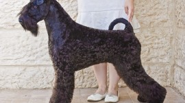 Dog Kerry Blue Terrier Photo Free#1