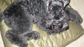 Dog Kerry Blue Terrier Photo#1