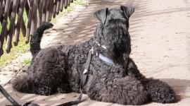 Dog Kerry Blue Terrier Wallpaper