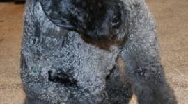 Dog Kerry Blue Terrier Wallpaper For Mobile