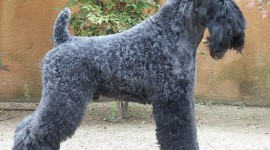 Dog Kerry Blue Terrier Wallpaper Free