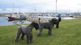 Dog Kerry Blue Terrier Wallpaper Full HD