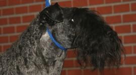 Dog Kerry Blue Terrier Wallpaper Gallery