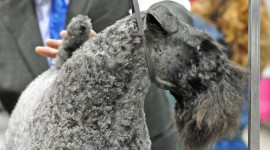 Dog Kerry Blue Terrier Wallpaper HQ#1