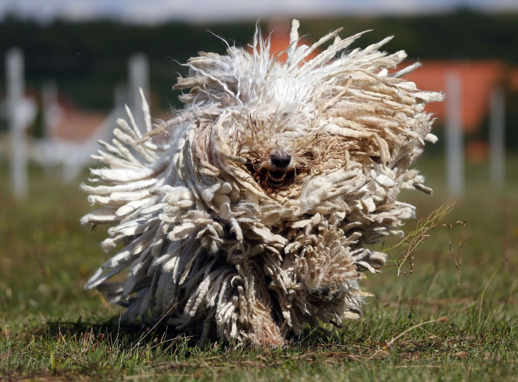 Dog Komondor wallpapers HD