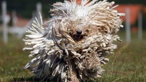 Dog Komondor wallpapers high quality