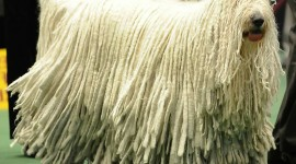 Dog Komondor Desktop Wallpaper For PC