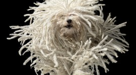 Dog Komondor Photo