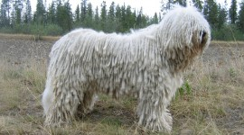 Dog Komondor Photo Download