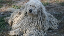 Dog Komondor Photo Free