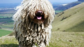 Dog Komondor Wallpaper
