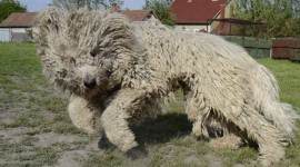 Dog Komondor Wallpaper Background