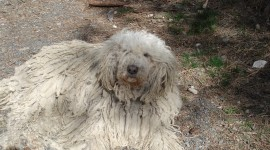 Dog Komondor Wallpaper Download