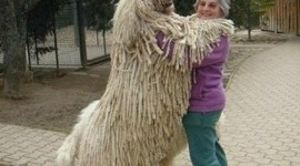 Dog Komondor Wallpaper For Android