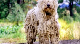 Dog Komondor Wallpaper For Desktop