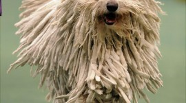 Dog Komondor Wallpaper For Mobile#1