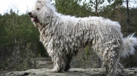 Dog Komondor Wallpaper Free
