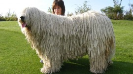 Dog Komondor Wallpaper Full HD