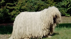 Dog Komondor Wallpaper HQ