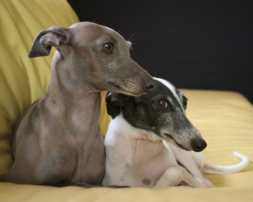 Italian Greyhound wallpapers HD