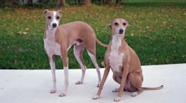 Italian Greyhound Wallpaper