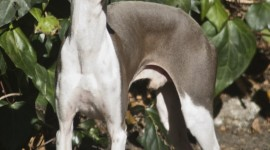 Italian Greyhound Wallpaper For Android