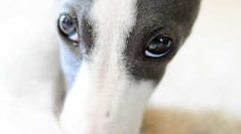 Italian Greyhound Wallpaper For IPhone